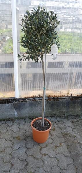 Olivenbaum gross
